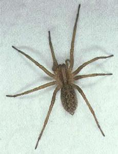 Spring Is Hobo Spider Season State And Regional