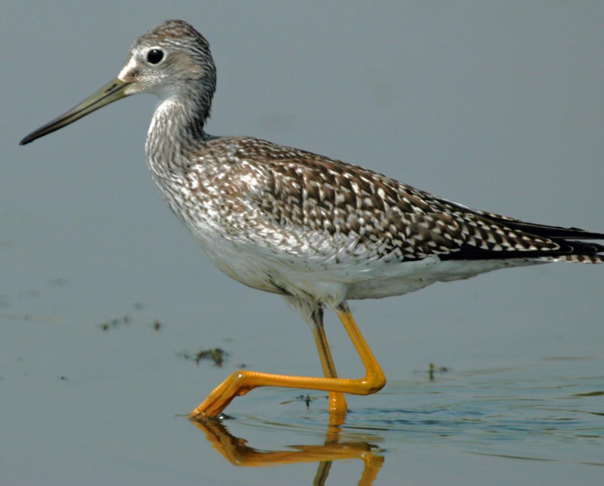 Greater Yellowlegs in fall plumage
