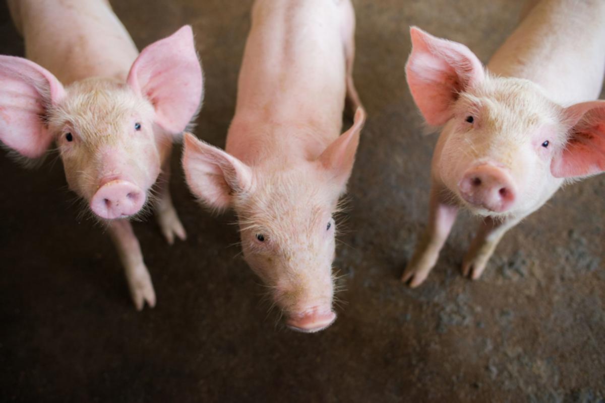 pig tariffs