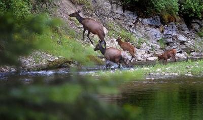 Idaho elk