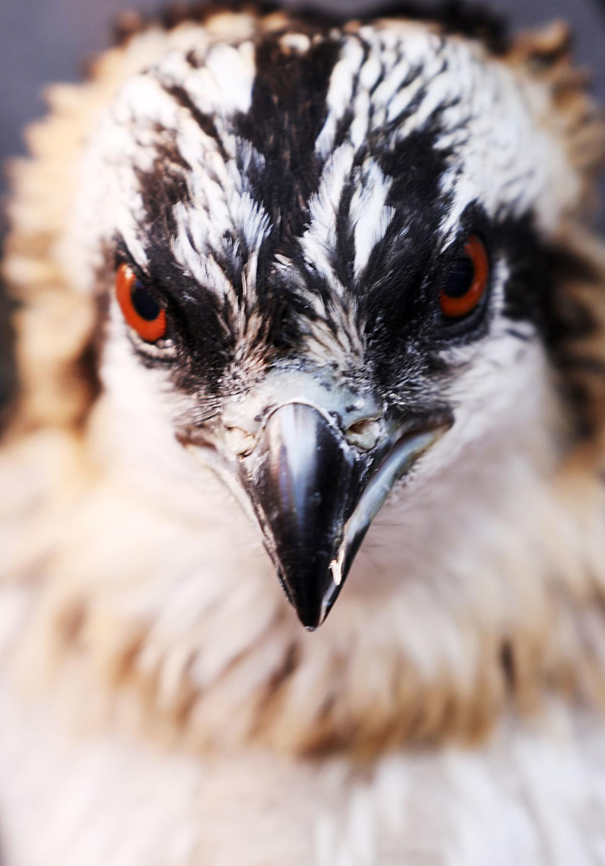 Scientists study osprey nests in Warm Springs