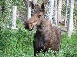 Cow moose, courtesy pinterest.com
