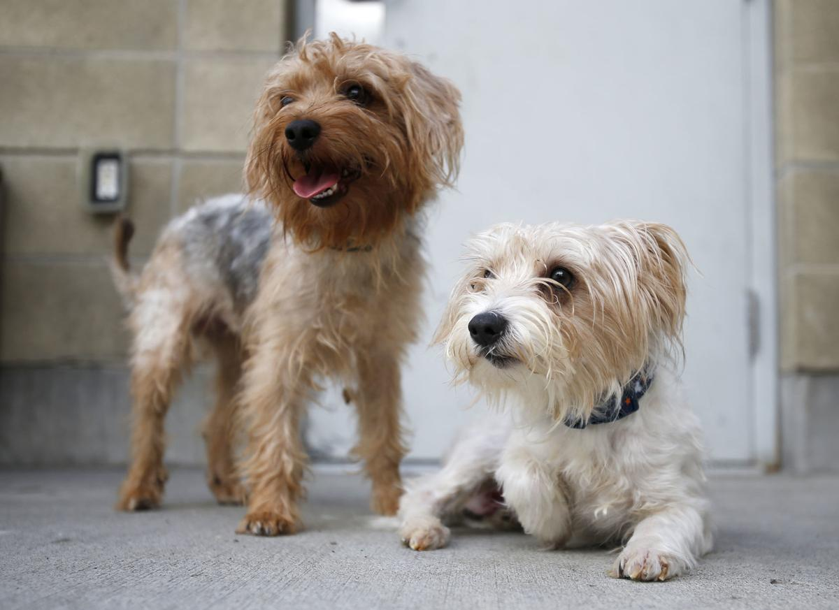 YVAS dogs