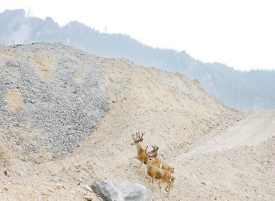 Bucks living in near the Berkeley Pit.
