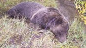 Grizzly Found Dead Near Mill Creek Local Mtstandardcom