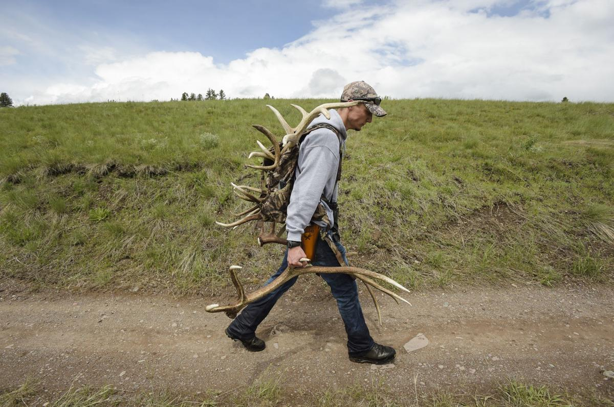 Dakota Diller walks back to his truck Friday with a load of bull elk shed antlers