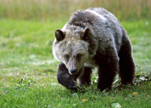 Grizzly hunts