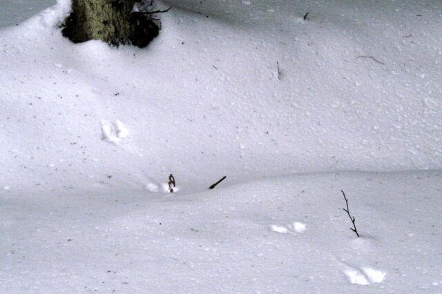 Pine marten tracks in the snow.