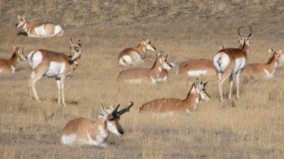 Good for pronghorn