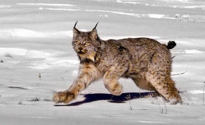 Timber projects held up by lynx assessment