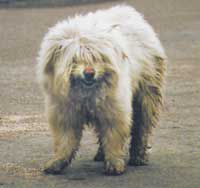 BUTTE MEMORY: 'The Auditor,' Berkeley Pit's shaggy denizen, was 'adopted' by miners