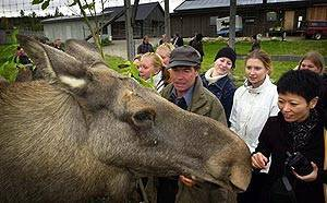 Sweden's moose cheese is prized delicacy