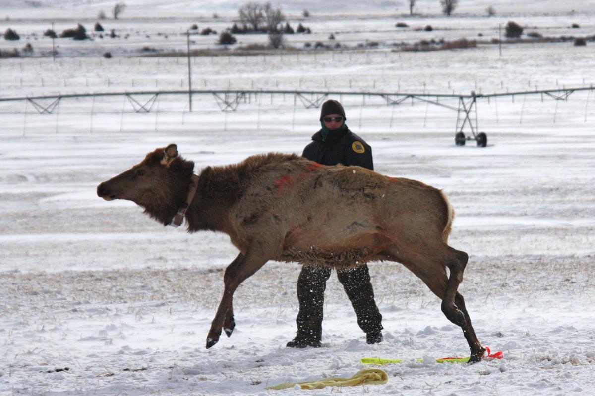 Elk capture