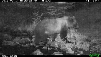 Grizzly in the Upper Big Hole