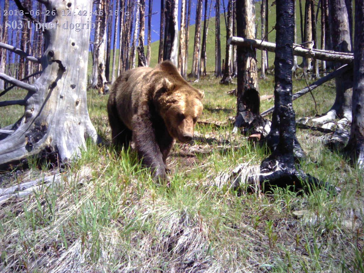Grizzly in Canadian Rockies