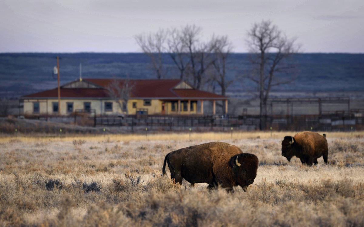 Bison roam the grassland