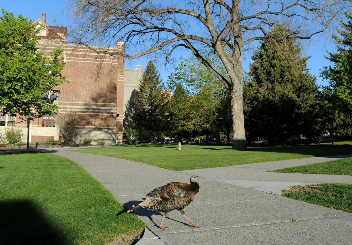 Campus turkey