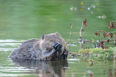 Beaver food