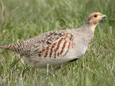 Montana Birding: Gray partridge common year-round | Outdoors