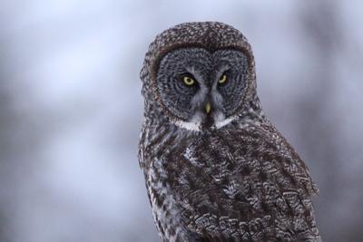 A Great Grey Owl