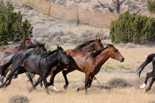 Wild Mustangs Running Free But Not For Long Natural Resources Mtstandard Com