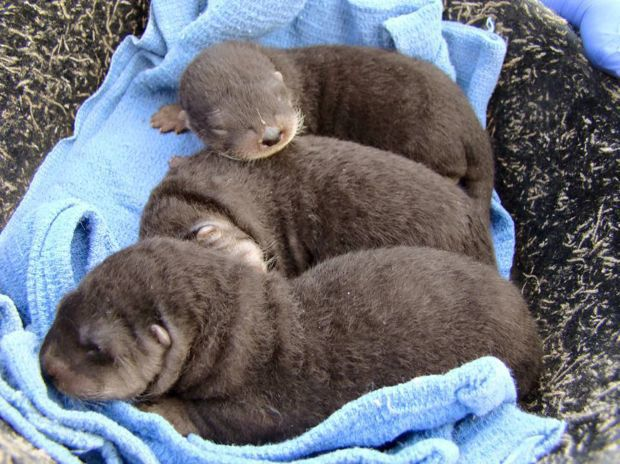 Baby river otters