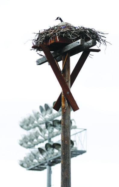 Ospreys squawking mad: Geese take over nest at Missoula baseball stadium