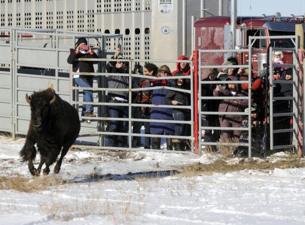 Bison quarantine