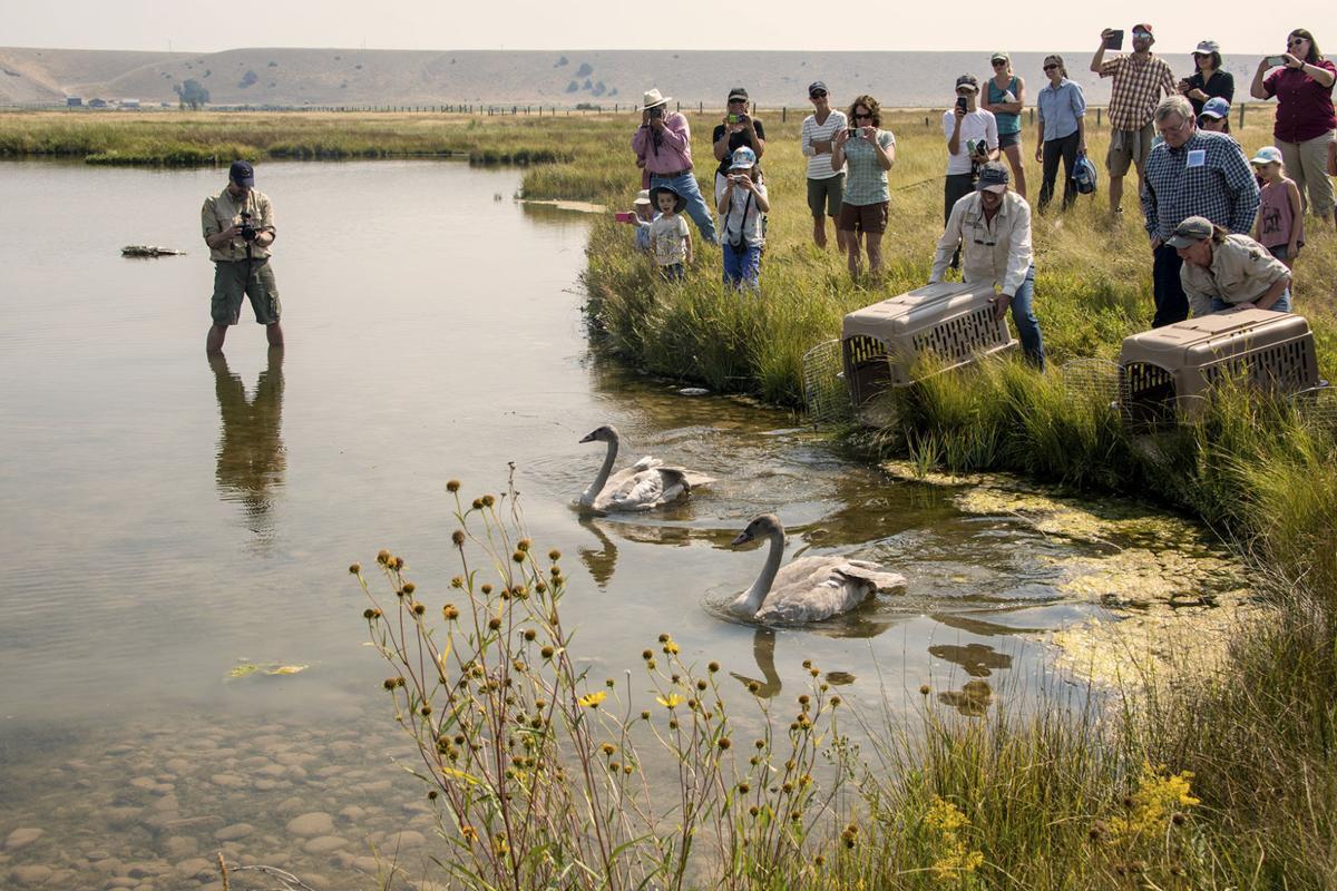 Trumpeter swans released near Ennis