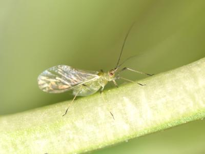 Aphid 666793110