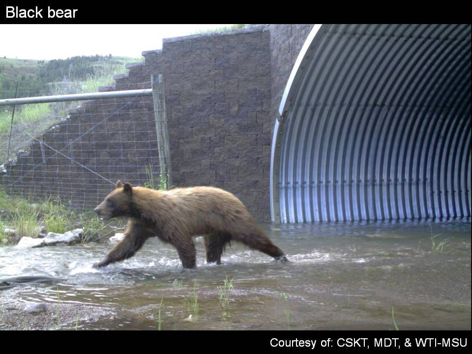 Black bear crossing