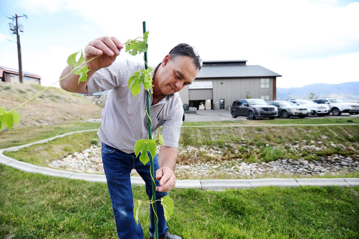 Hops from Sidney, Montana are key ingredient to Butte beer