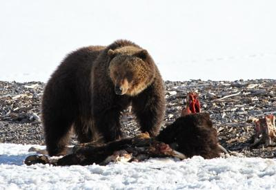 Grizzly bear on bison carcass near Yellowstone Lake