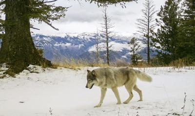 Wolves-US Protections