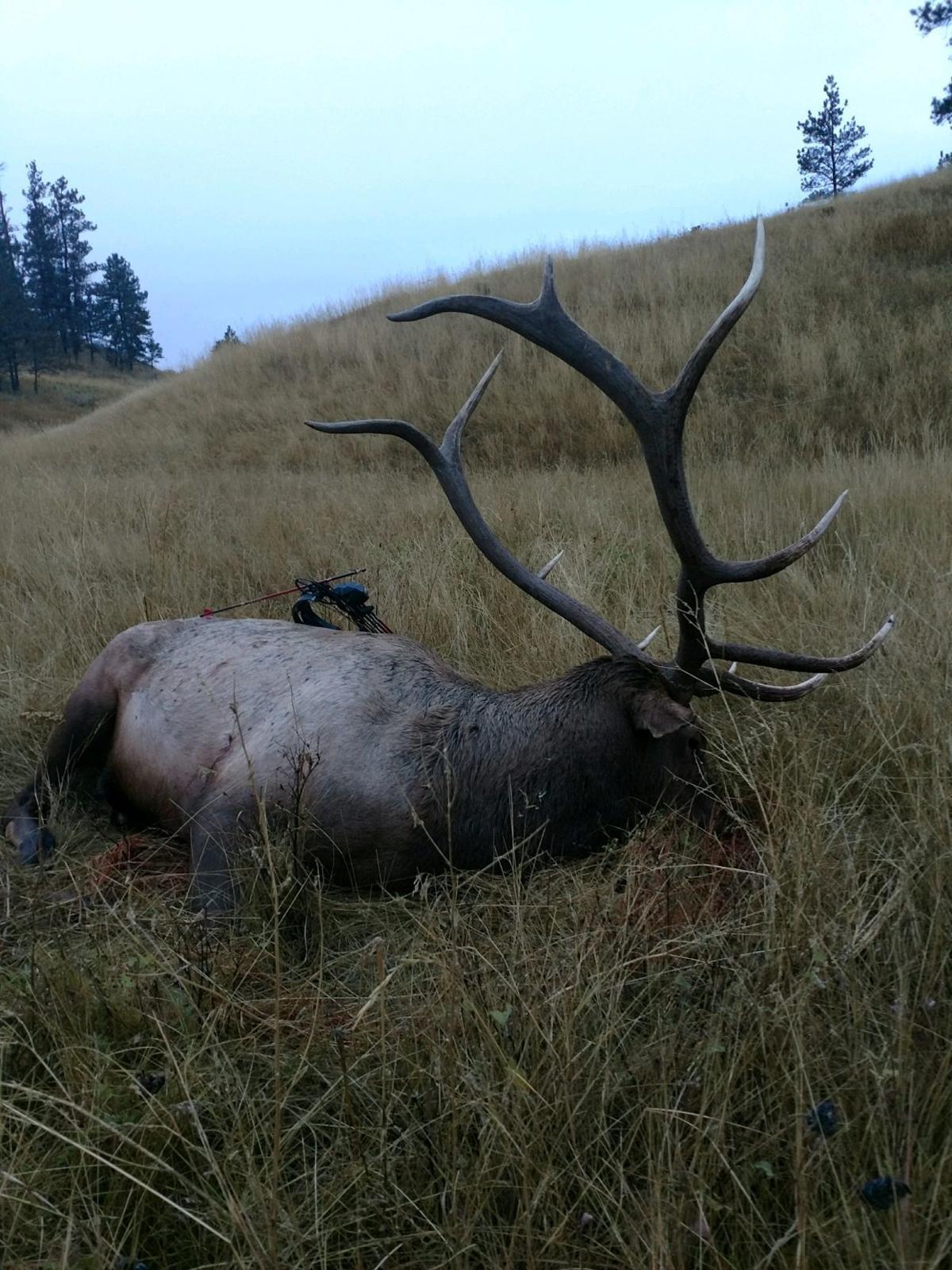 Bull elk at kill site