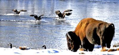 Entry to Yellowstone free on Monday