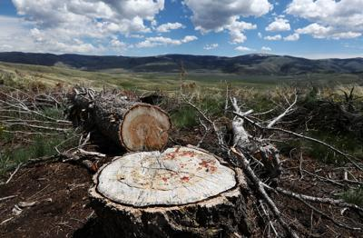 Removing conifers from Southwest Montana landscape