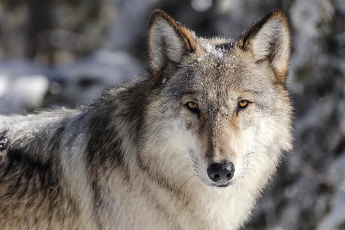 Wolves Idaho
