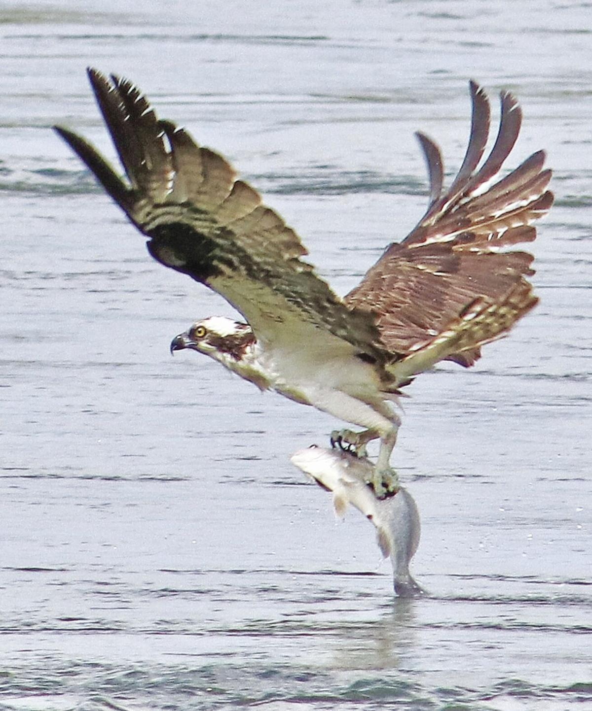 Osprey plucks fish