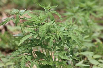 MSU grows industrial hemp