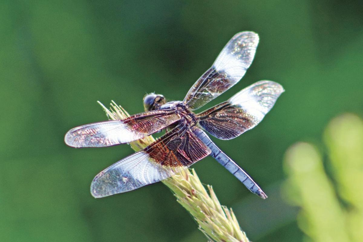 Dragonfly widow