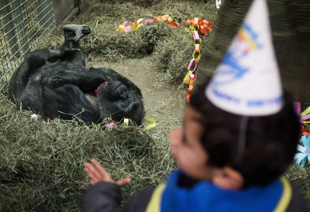 A Young Boy Wearing Birthday Hat Looks Through The Glass At Colo Nations Oldest Living Gorilla During Her 60th Party Columbus Zoo