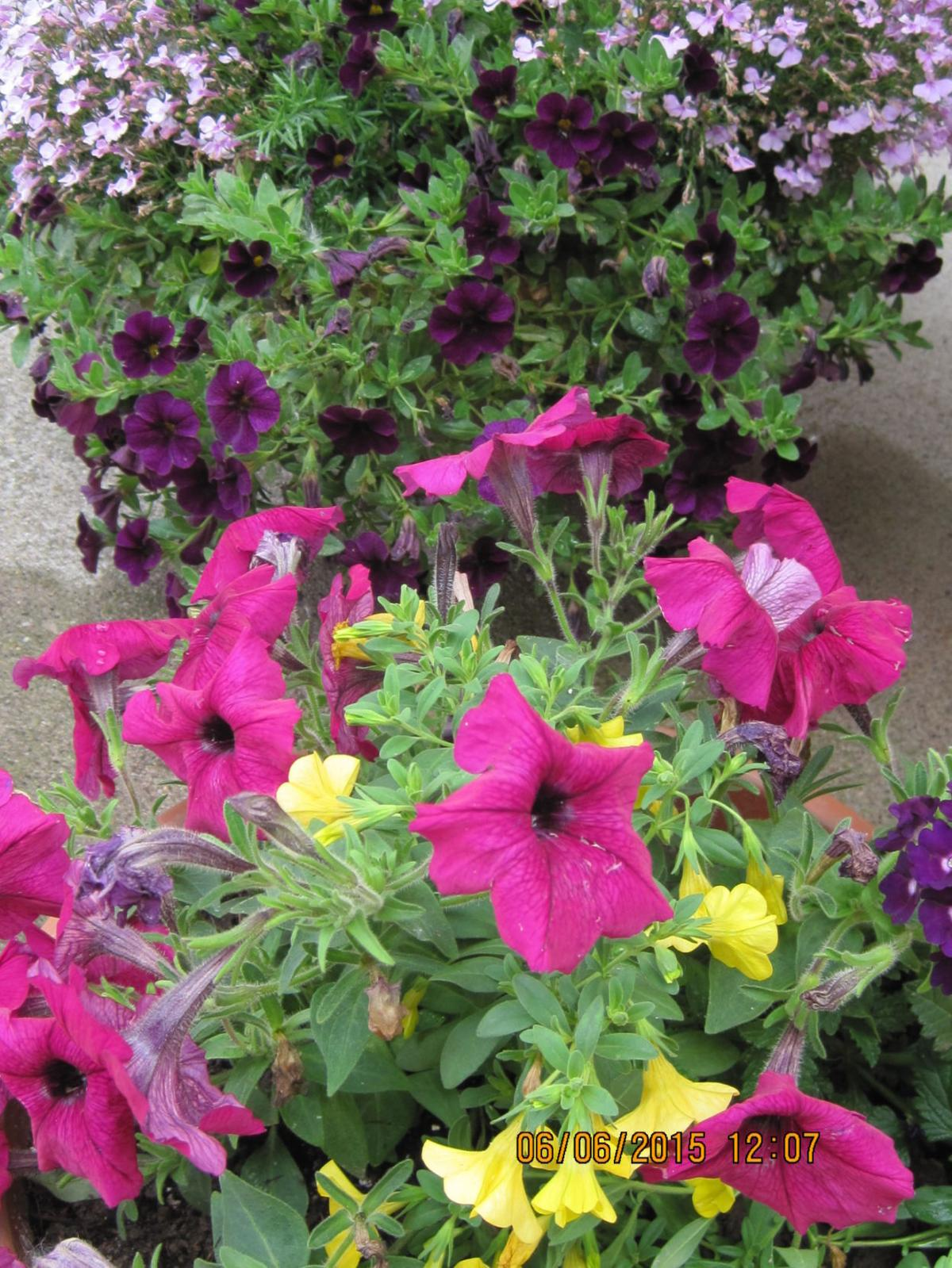 Get A Head Start On Preventing Leggy Petunias Local