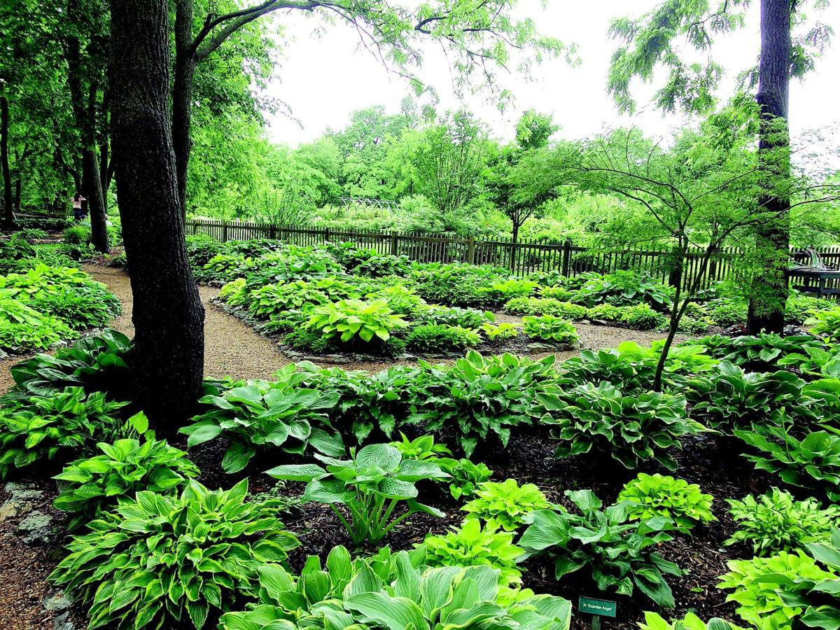 Hostas Come In All Shapes And Sizes Lifestyles Muskogeephoenixcom