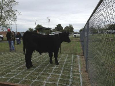 Warner celebrates Cow Chip Day