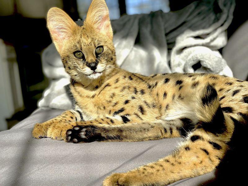 African cat loose in Muskogee