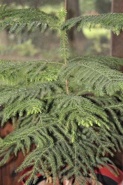 All the Dirt on Gardening: Norfolk Island Pine Tree ... Spidar Plant Norfolk Pine House on