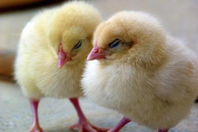Health officials caution of Salmonella risk from baby poultry