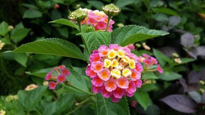 Gardening with Micki: Lantana — A summer sun lover