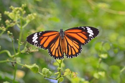 Monarch initiative set for May 8